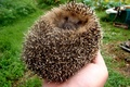 Picture tangle, hand, barb, hedgehog, hedgehog in the hand