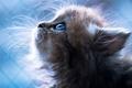 Picture blue eyes, cat, nose, sweet, blue background, mustache, portrait, animal, Kitten
