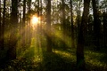 Picture forest, rays, trees