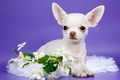 Picture flowers, Chihuahua, cute, puppy