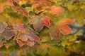 Picture maple, autumn, leaves