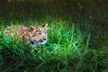 Picture LOOK, TIGER, GRASS, LEOPARD, GREEN, BABY, DISGUISE, ATTENTION, HUNTING