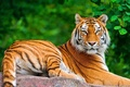 Picture lies, look, posing, face, tiger, foliage, a large striped cat, stone