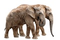 Picture White, Background, Two, Animals, Elephants
