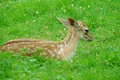 Picture spotted, lies, grass, fawn, white, spot