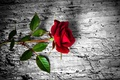 Picture rose, red, wood, flower, rose