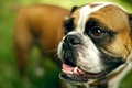 Picture look, each, dog, English bulldog