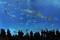 Picture Okinawa, churaumi aquarium, people, underwater world, Japan