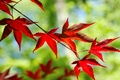 Picture red, widescreen, leaf, blur, HD wallpapers, Wallpaper, tree, leaf, tree, leaves, full screen, background, fullscreen, ...