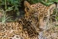 Picture cat, face, the sun, Jaguar, cub, kitty