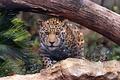 Picture cat, Jaguar, predator, stone, log