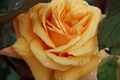 Picture drops, macro, rose, petals, Bud, yellow rose