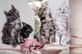 Picture Maine Coon, kittens, Quartet