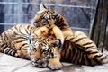 Picture the cubs, The Amur tiger, Panthera tigris altaica