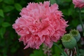 Picture summer, pink, Mac, August, cottage, Peony, peony, wonderful