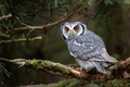 Picture White-faced scoop, look, branch, owl, tree, sovushka, bird, forest