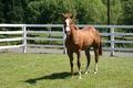 Picture horse, horse, Levada