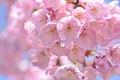 Picture macro, Sakura, cherry, spring, pink