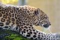 Picture leopard, predator, zoo, profile, wild cat, spot