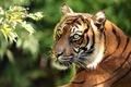 Picture portrait, tiger, branch, predator, Sumatran tiger, face