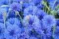 Picture flowers, blue, bluet, cornflower, centaurea, cornflowers