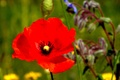 Picture Red, Spring, Poppy, Red, Mac, Spring