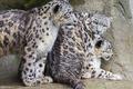 Picture family, Trinity, IRBIS, cats, snow leopard, wet, ©Tambako The Jaguar