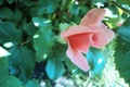 Picture flowers, unique rose, Rose, pink