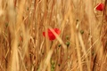 Picture flowers, field, cereals, red, Maki, grass