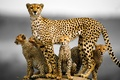 Picture family, cat, kittens, Cheetah