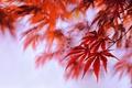 Picture maple, paint, autumn, leaves
