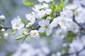 Picture macro, flowers, nature, branch, spring, petals, white, Apple, buds, flowering