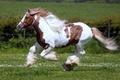 Picture field, animals, grass, nature, animal, horse, horse, stallion, horses, horse, pasture, mane, jump, beautiful, stallions, ...
