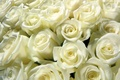 Picture roses, bouquet, white, buds, bunch