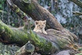 Picture cat, tree, moss, cub, kitty, lion, ©Tambako The Jaguar