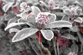 Picture frost, leaves, snow, ice, plant