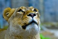 Picture look, lioness, up, face, Queen