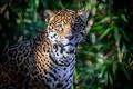 Picture foliage, predator, shadow, Jaguar, face, wild cat, spot