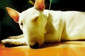 Picture Cox, light, warmed, white, primarily, kimara, Bull Terrier