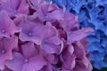 Picture flowers, hydrangea, inflorescence, purple
