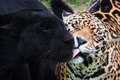 Picture leopard, panther, friendship, Lick
