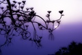 Picture fog, the sun, Branch, lilac