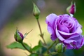 Picture petals, purple, buds, rose
