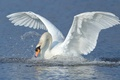 Picture Swan, water, wings, bird, stroke, squirt