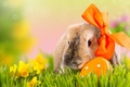 Picture flowers, holiday, nature, rabbit, daffodils, Easter, Easter, bokeh, bow, egg, grass, spring
