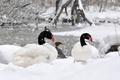 Picture winter, lake, animal, swam