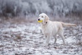 Picture forest, Labrador, winter, Golden Retriever, white, Golden, Golden Retriever, Retriever, snow, puppy, posing, charming, the ...