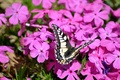 Picture Phlox, butterfly, pink
