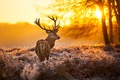 Picture animal, nature, trees, deer, the sun, horns, forest, sunset