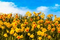 Picture sunny, sky, field, yellow, petals, clouds, flowers